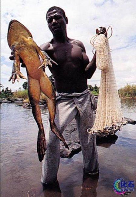 Лягушка-голиаф () - самая большая в мире